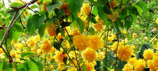 copac-galben-neidentificat