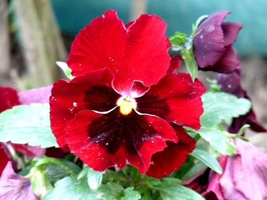 panseluta-rosie