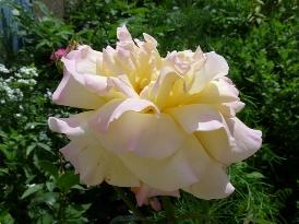 trandafir mare cat o floarea soarelui