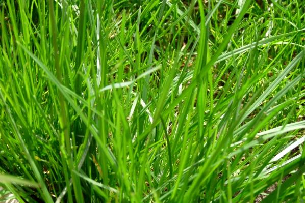 iarba verde de la Cornu
